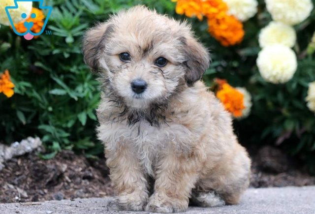 Apple-Cavachon-Designer-Breed-Dog-Cavalier-Bichon-ACHC-IDCR-ICA