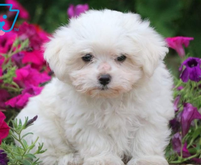 Maltese Puppies For Sale | Puppy Adoption | Keystone Puppies