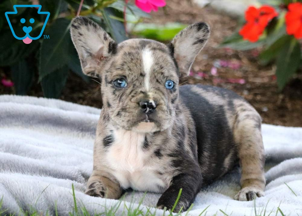 Pomeranian French Bulldog Mix