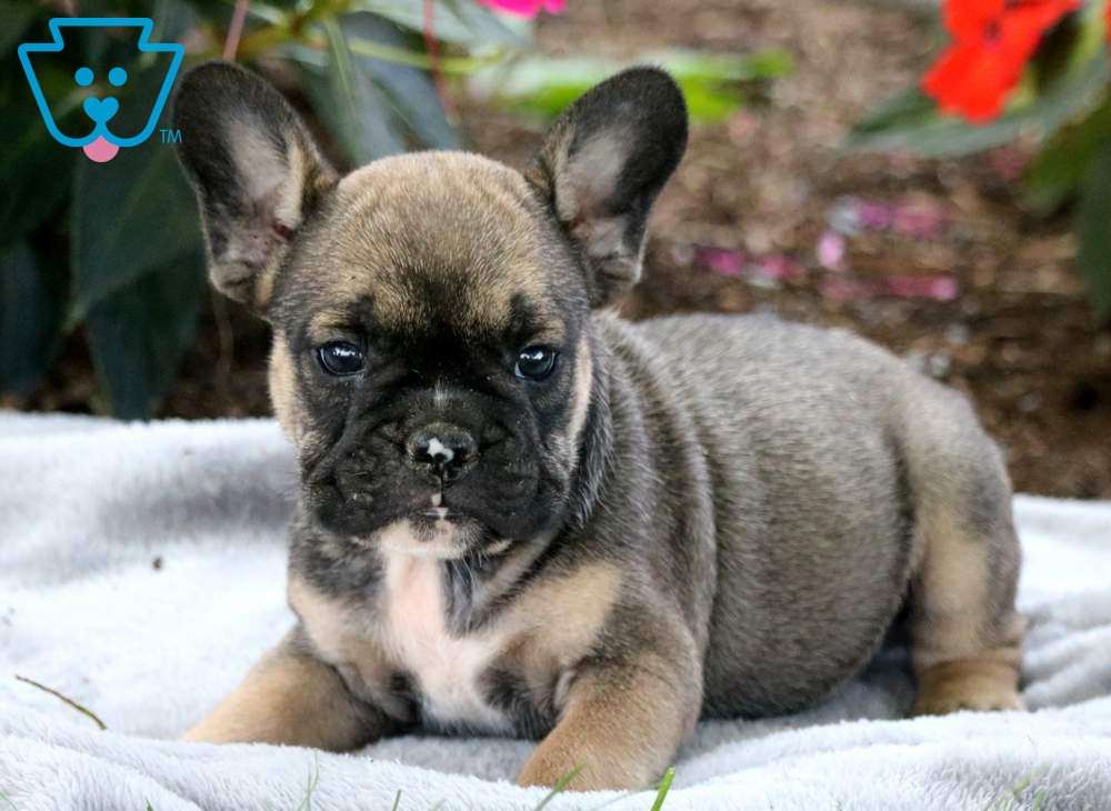 Champ French Bulldog Mix Puppy For