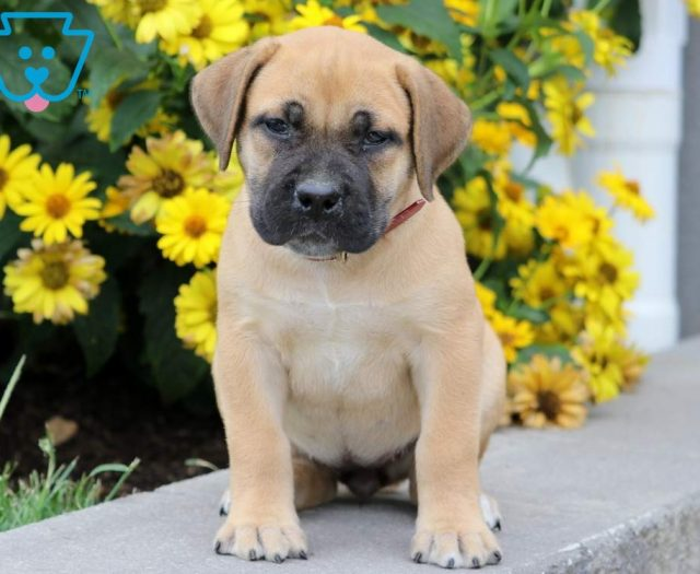 Boerboel - South African Puppies For Sale | Puppy Adoption