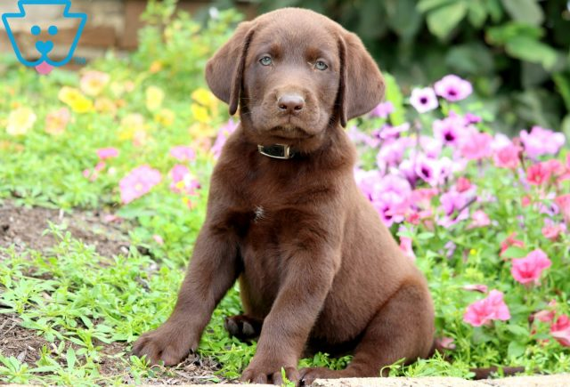 Chocolate Chocolate Lab 1