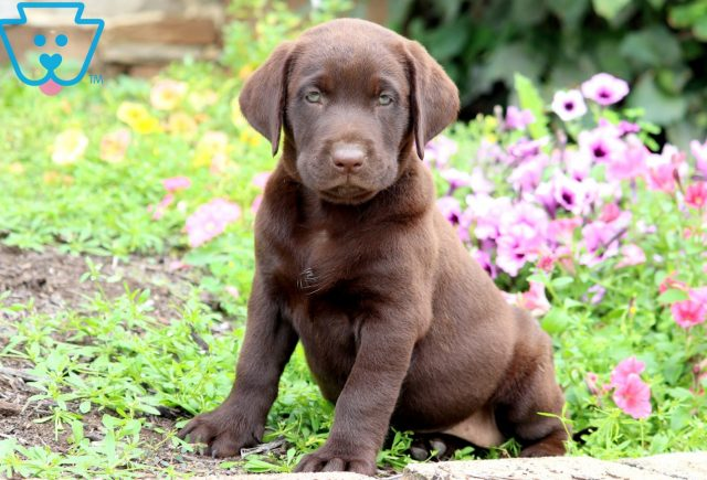 Cream Chocolate Lab 1