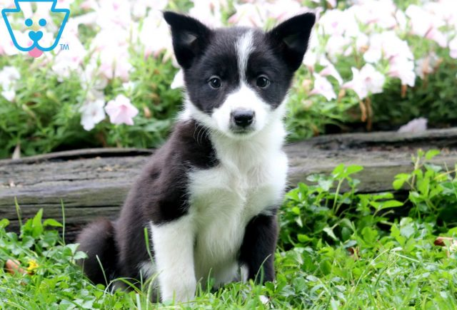 Daisy Border Collie Mix 1