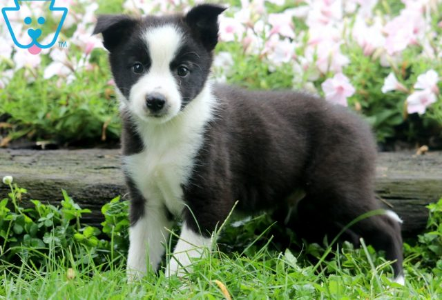 Dash Border Collie Mix 1