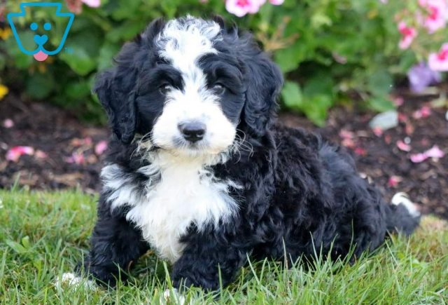 Dipper-Mini-Bernedoodle-Berrnese-Mountain-Dog-Poodle-Breed-ACHC-IDCR-ICA