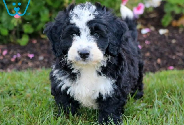 Dipper2-Mini-Bernedoodle-Berrnese-Mountain-Dog-Poodle-Breed-ACHC-IDCR-ICA