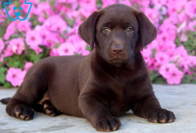 Flower-Labrador-Retriever-Sporting-Dog-Breed-AKC-Chocolate