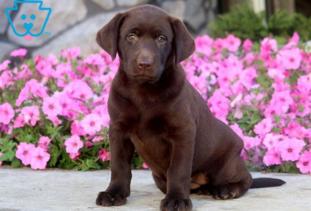 Flower2-Labrador-Retriever-Sporting-Dog-Breed-AKC-Chocolate