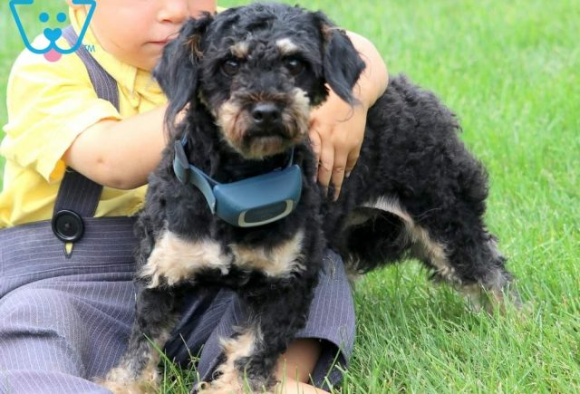 Sire - Frosty - Toy Poodle
