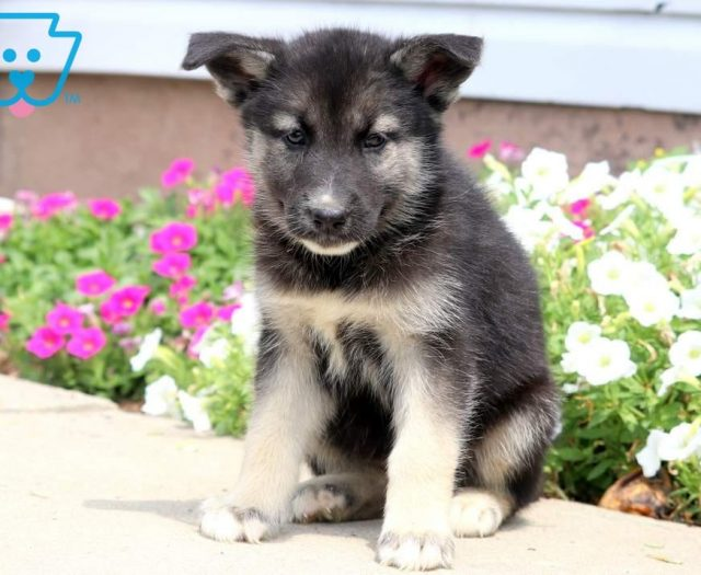 Gerberian Shepsky Puppies For Sale | Puppy Adoption