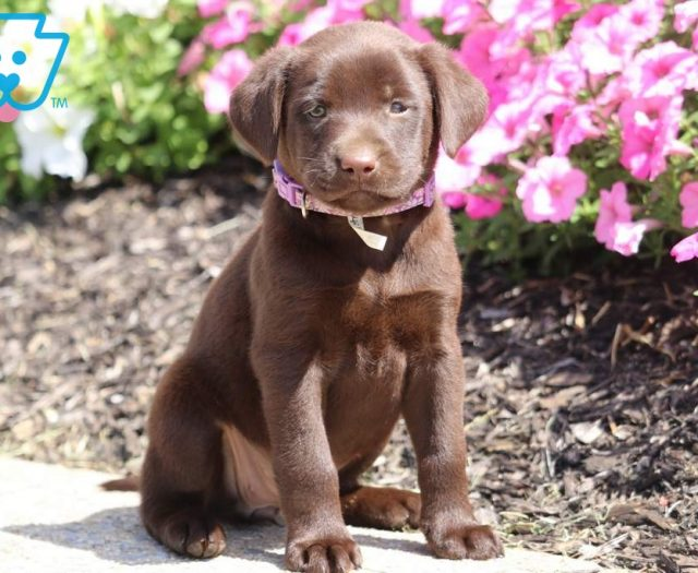 Chocolate Labrador Retriever Puppies For Sale | Puppy