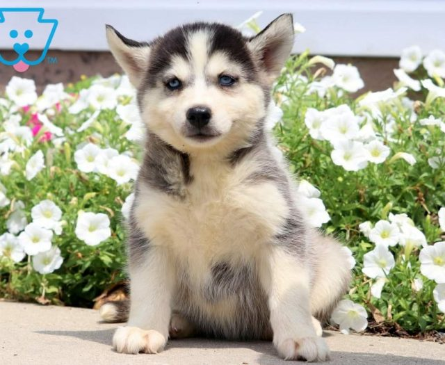 Pomsky Puppies For Sale | Puppy Adoption | Keystone Puppies