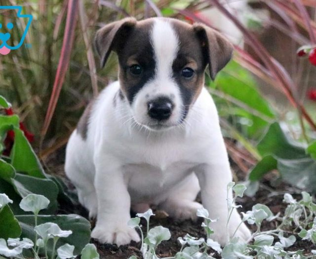 Jack Russell Terrier Puppies For Sale | Puppy Adoption