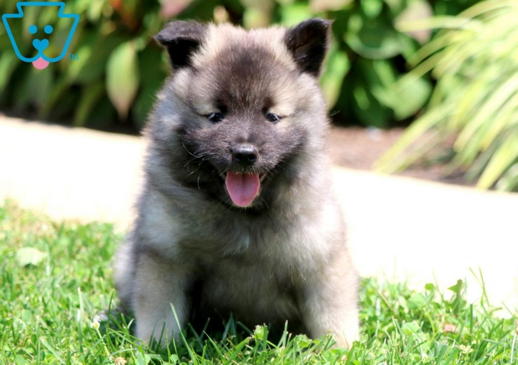 Patricia | Keeshond Puppy For Sale | Keystone Puppies