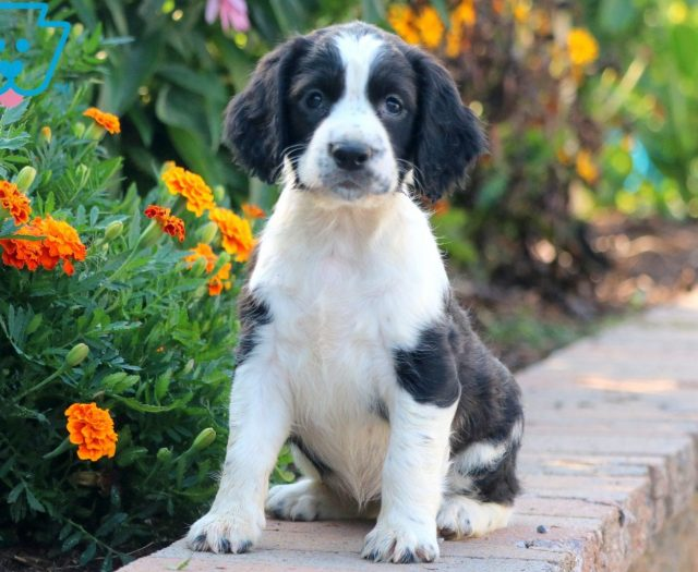 English Springer Spaniel Puppies For Sale | Puppy Adoption