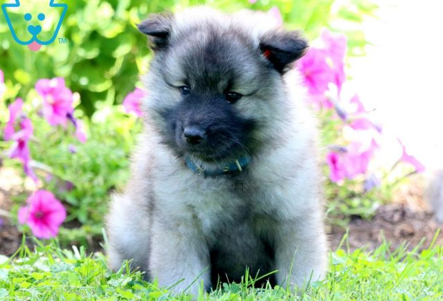 Peter Keeshond 1