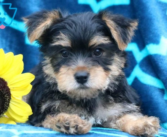 Morkie Puppies For Sale | Puppy Adoption | Keystone Puppies