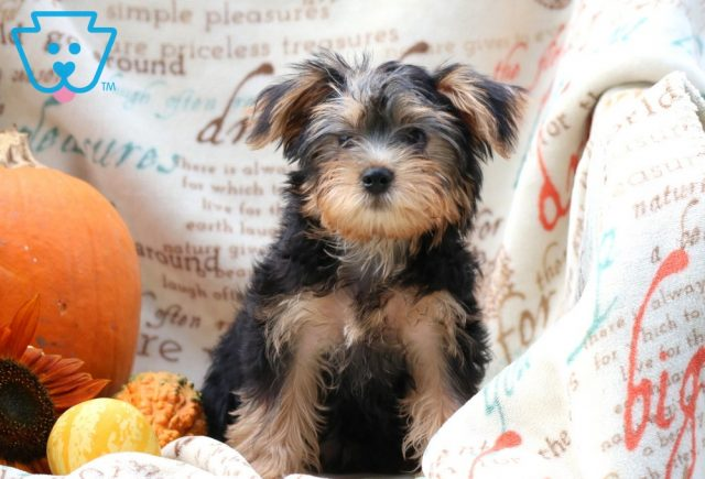 Rover Morkie