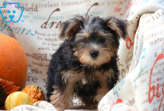 Rover Morkie 2