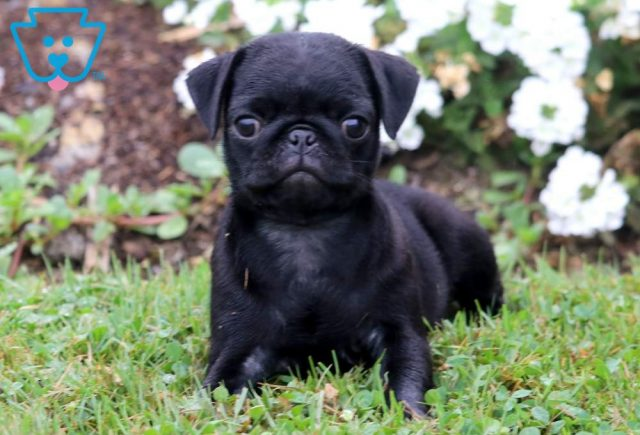Rover-Pug-Dog-Breed-Toy-AKC