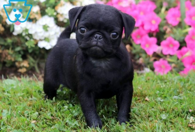 Rover2-Pug-Dog-Breed-Toy-AKC