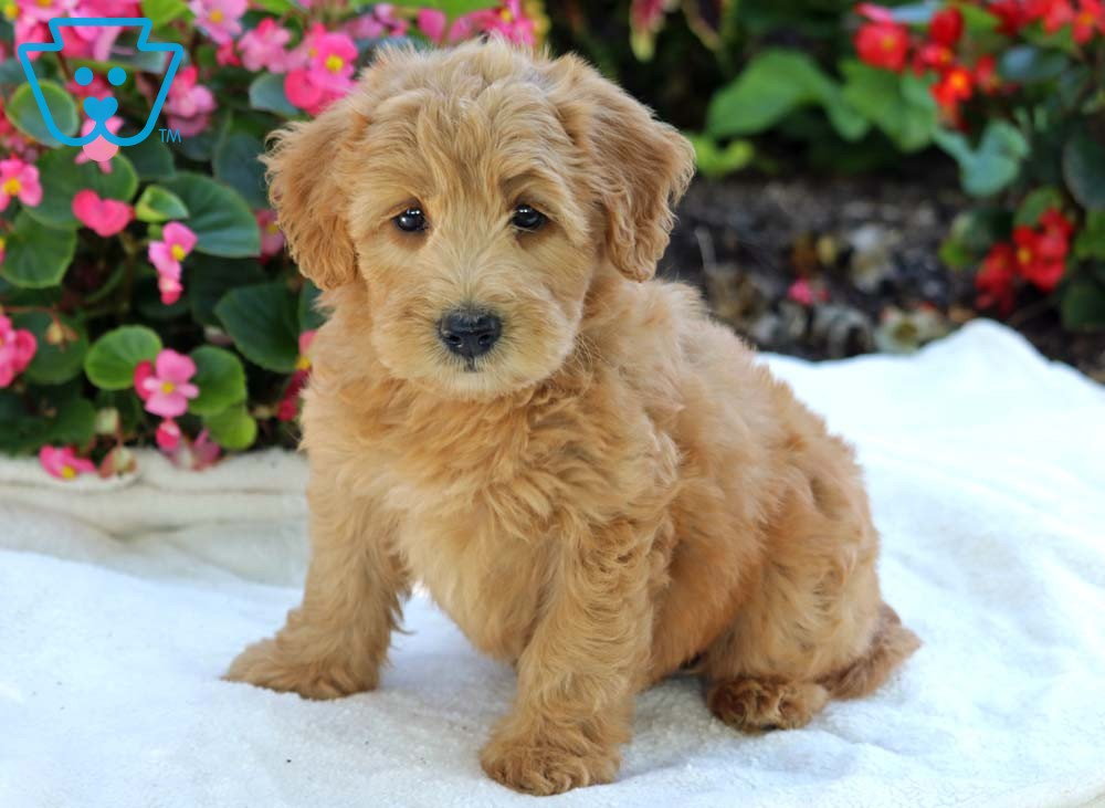 Sa Whoodle Mini Puppy For