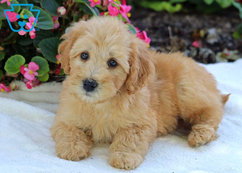 Sarge Whoodle Mini Puppy For