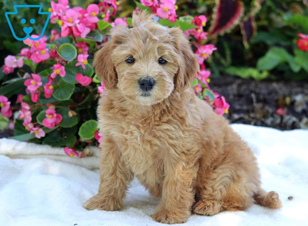 Skittles Whoodle Mini Puppy For