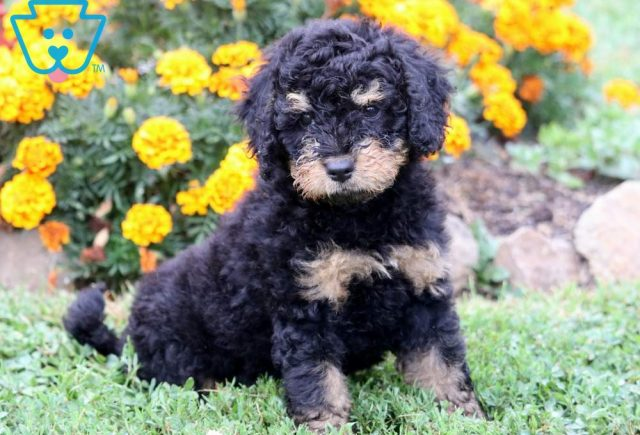 Sky-Mini-Bernedoodle-Berrnese-Mountain-Dog-Poodle-Breed-ACHC-IDCR-ICA