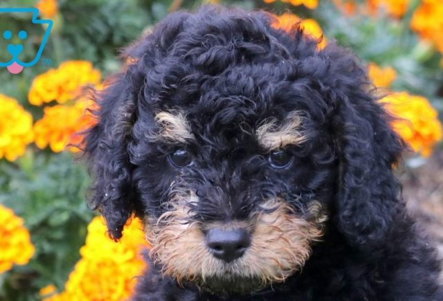 Sky2-Mini-Bernedoodle-Berrnese-Mountain-Dog-Poodle-Breed-ACHC-IDCR-ICA