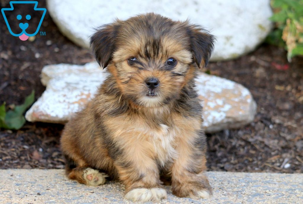 Sprinkles Shorkie Puppy For Sale Keystone Puppies