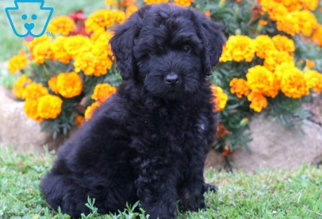 Stanley-Mini-Bernedoodle-Berrnese-Mountain-Dog-Poodle-Breed-ACHC-IDCR-ICA
