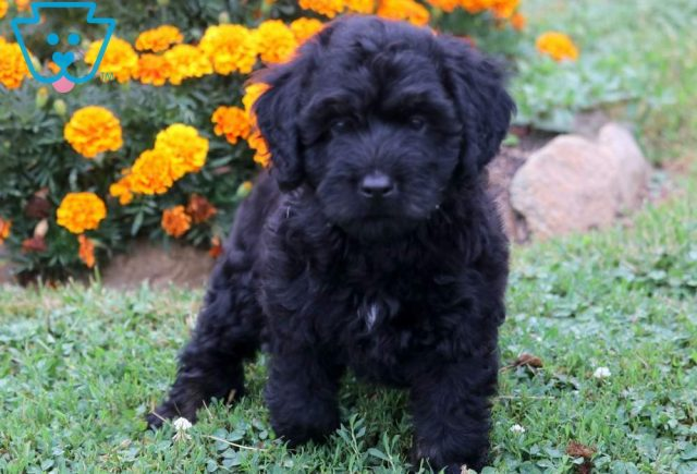 Stanley2-Mini-Bernedoodle-Berrnese-Mountain-Dog-Poodle-Breed-ACHC-IDCR-ICA