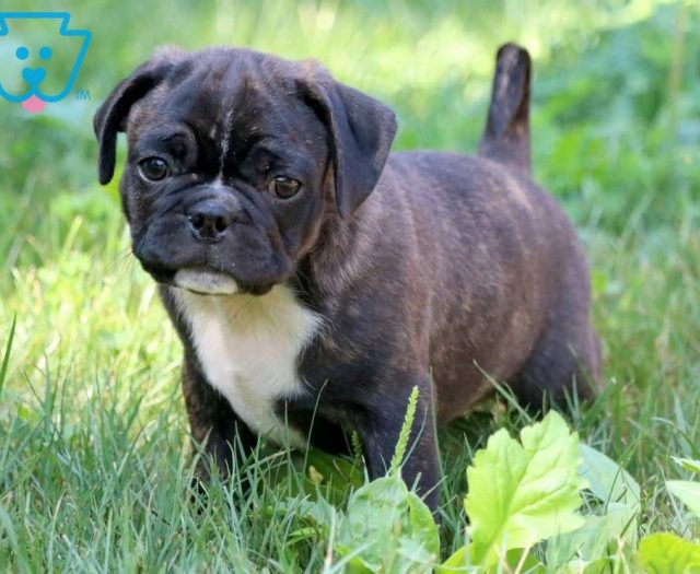 Pug Mix Puppies For Sale | Puppy Adoption | Keystone Puppies