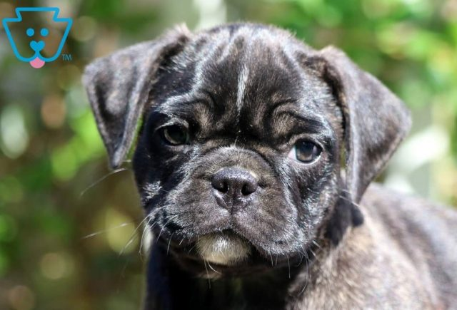 Stormy-Pug-Mixed-Breed-Dog