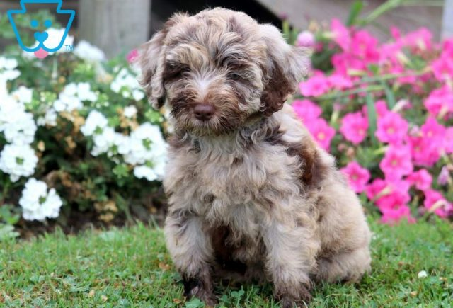 Sunshine-Mini-Bernedoodle-Berrnese-Mountain-Dog-Poodle-Breed-ACHC-IDCR-ICA
