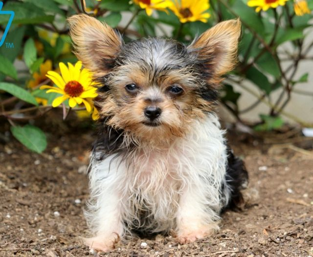 Yorkshire Terrier Puppies For Sale | Puppy Adoption