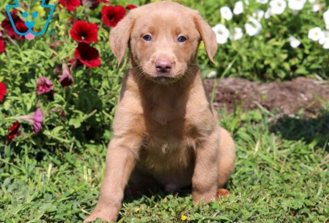 Timmy-Labrador-Retriever-Sporting-Dog-Breed-AKC-Fox-Red