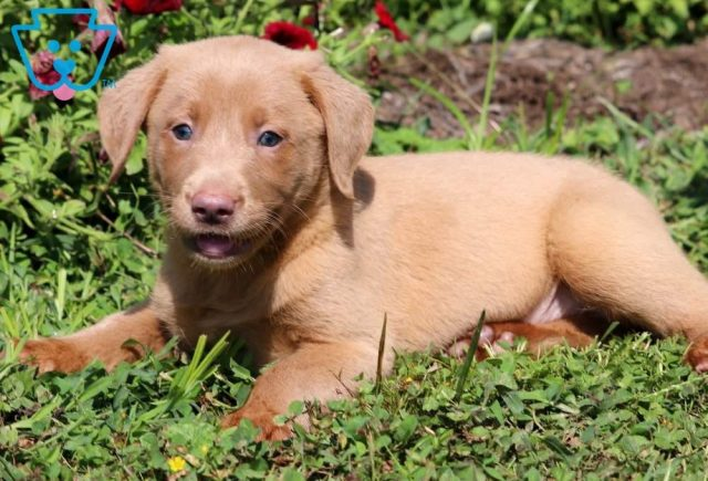 Timmy2-Labrador-Retriever-Sporting-Dog-Breed-AKC-Fox-Red