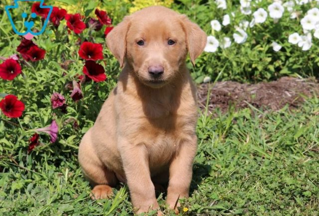 Toby-Labrador-Retriever-Sporting-Dog-Breed-AKC-Fox-Red