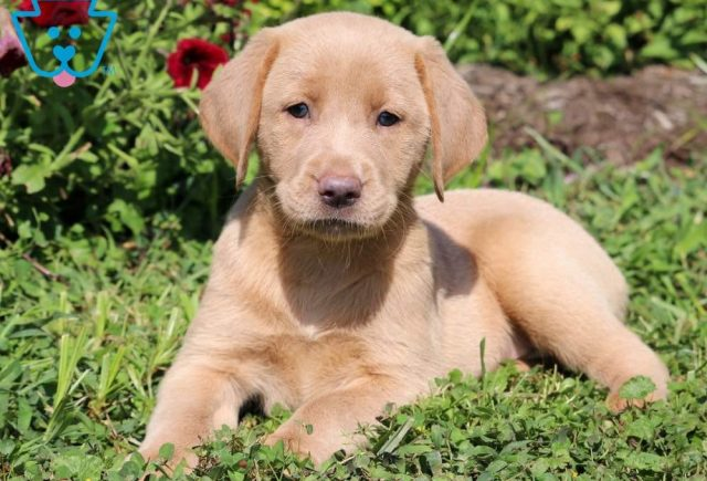 Tootsie-Labrador-Retriever-Sporting-Dog-Breed-AKC-Fox-Red