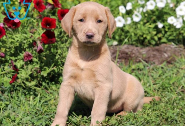Tootsie2-Labrador-Retriever-Sporting-Dog-Breed-AKC-Fox-Red