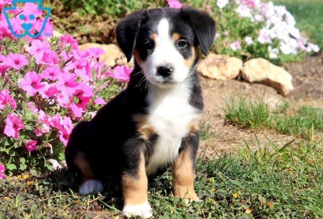 Butch Greater Swiss Mountain Dog 1