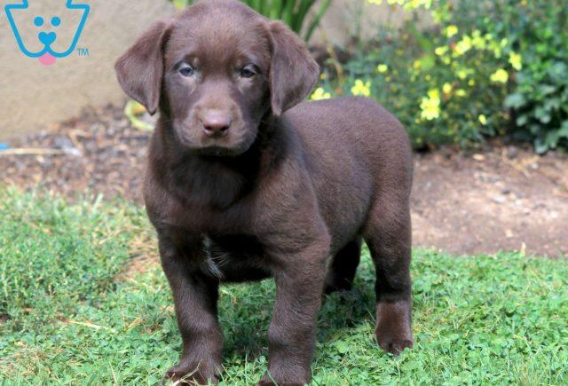 Buttercup Chocolate Lab 1