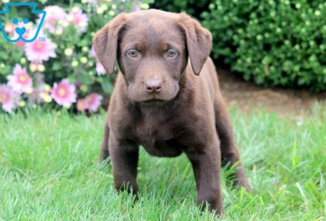 Carrie Chocolate Lab 1