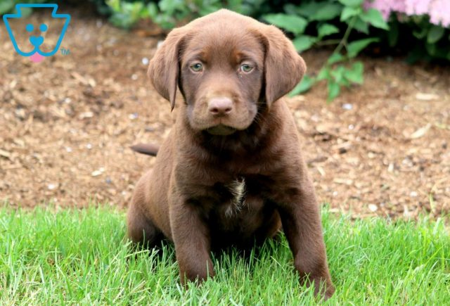 Cotton Chocolate Lab 1