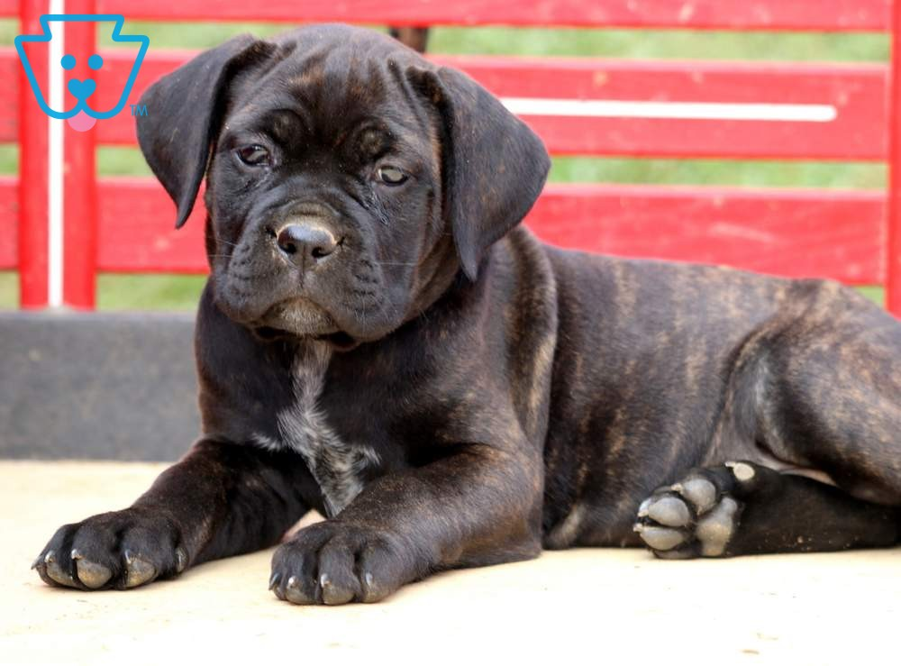 Sparkles | Cane Corso Puppy For Sale | Keystone Puppies