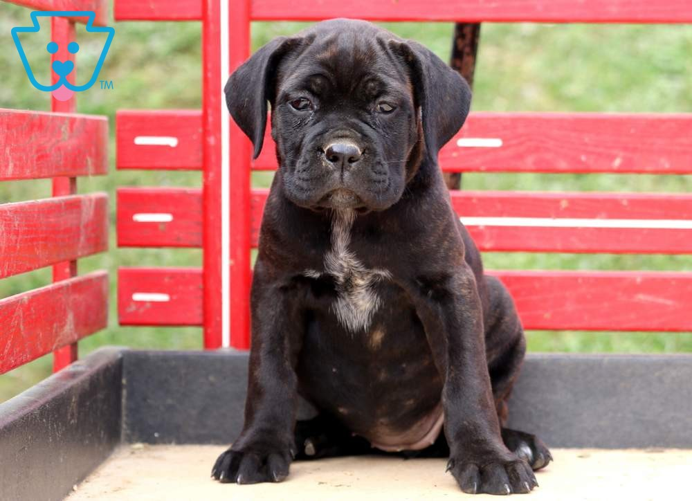 Sparkles   Cane Corso Puppy For Sale   Keystone Puppies