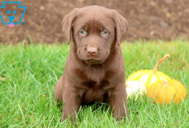 Special Chocolate Lab 1